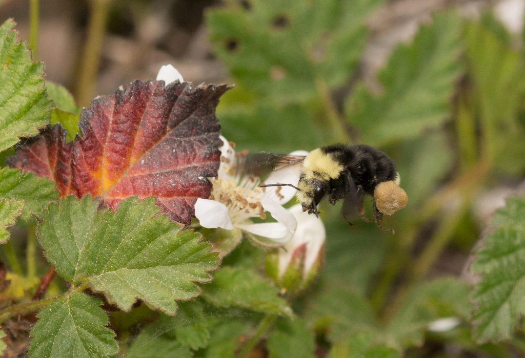 bumble bee showing pollen basket corbiculum